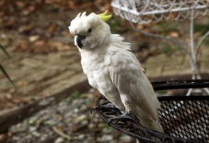 The cockatoo on Atkins' back porch. (Robert Morris, UptownMessenger.com)