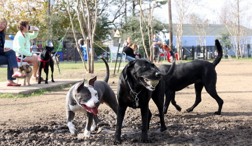 A pit bull named Love and a Black lab named Buddy play with a tennis ball at Wisner Park. (UptownMessenger.com)