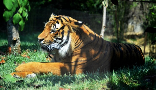 A Malayan tiger photographed at the Cincinnati Zoo in 2012. (Creative Commons image by Charles Barrilleaux via Flickr)