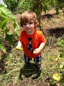 Mick O'Leary, aged one, harvests Green Bell Peppers (Froeba)