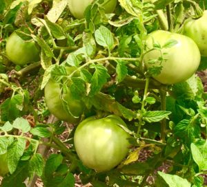 Next weeks tomatoes on the vine (Froeba)